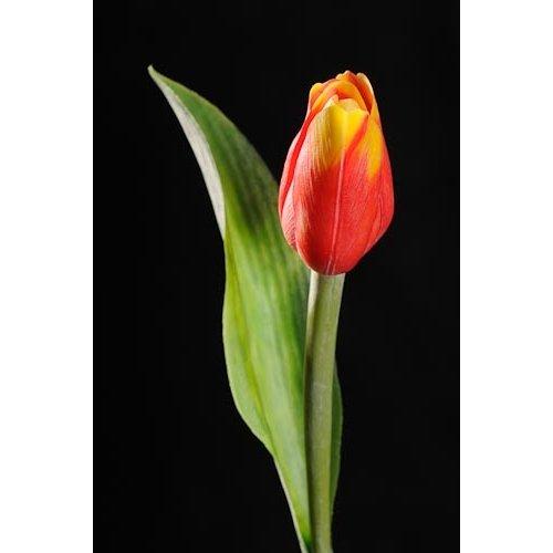 Tulipán červeno-žlutý